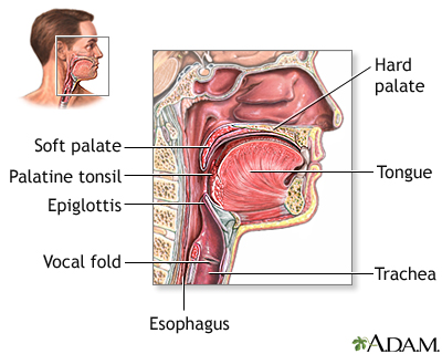Throat anatomy