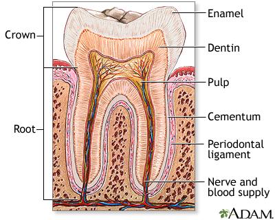 Tooth Anatomy Uf Health University Of Florida Health