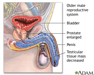 Aging Changes In The Male Reproductive System Uf Health