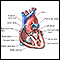 Heart - section through the middle