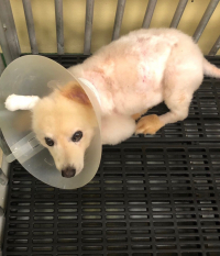 This dog suffered from severe wounds caused by an often-fatal infection known as canine melioidosis. Thanks to treatment developed by UF veterinary researchers, the dog has recoved and all of its fur has grown back. (Photo courtesy of Pacharapong Khrongsee)
