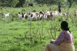 A new project involving University of Florida researchers will benefit women farmers, their families and livestock in Senegal. (Photo courtesy of Dr. Jorge Hernandez)