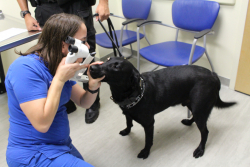 Holly Kitchen, a veterinary ophthalmology technician, checks the eyes of a service animal at UF's Small Animal Hospital. (File photo)