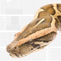 A Burmese python and the DNA sequence responsible for limb loss in snakes. Florida Museum of Natural History and Martin J. Cohn/University of Florida
