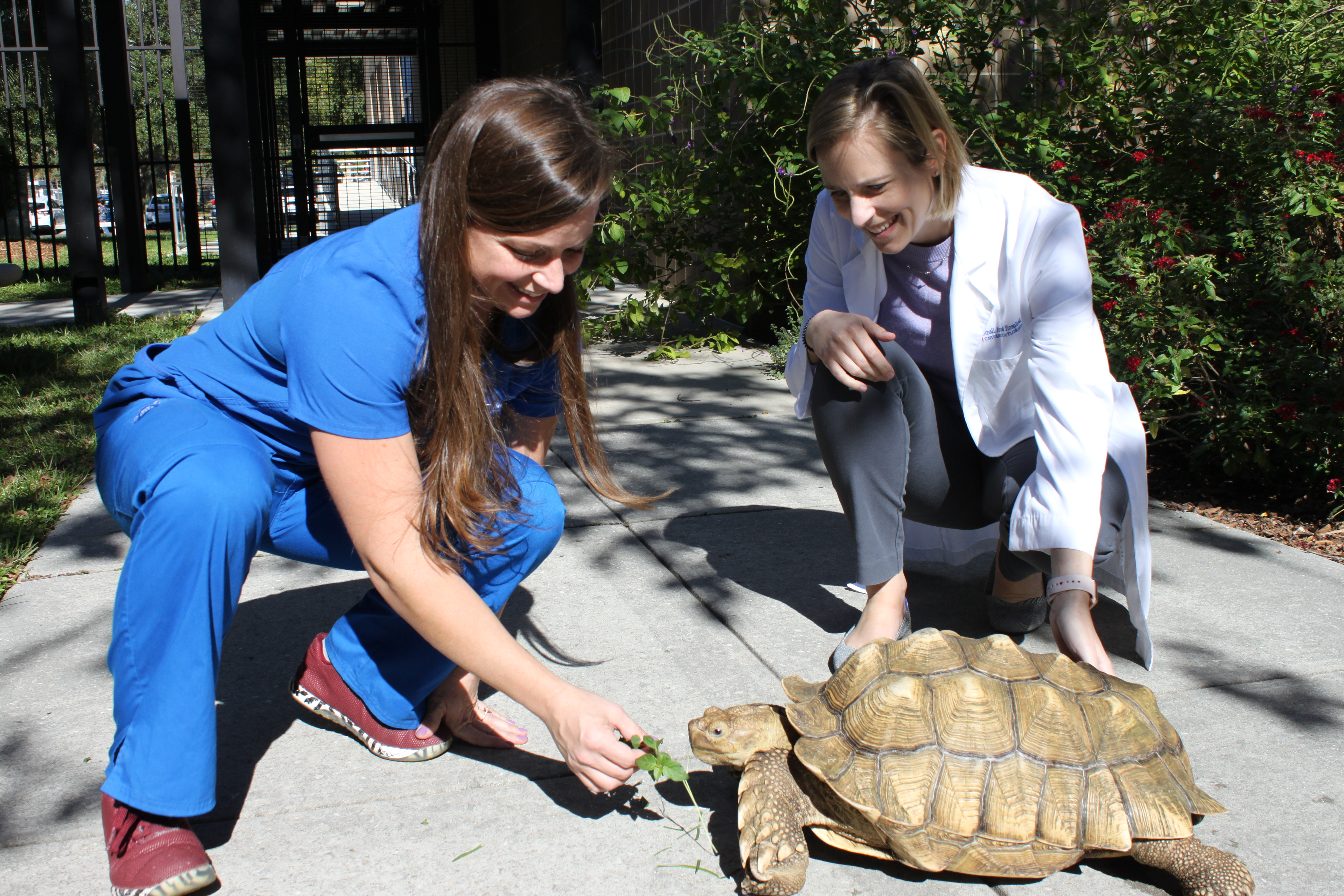 Veterinary technician Desiree Ambruso, left, and Dr. Amy Alexander, visit with this 40-pound sulcata tortoise outside of the UF College of Veterinary Medicine prior to her discharge to her new home.
