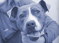 "Study shows shelter workers often mislabel dogs as ""pit bulls"""