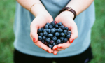 A person holds blueberries in their hands