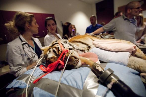 uf veterinarians take care of ill tiger uf health university of