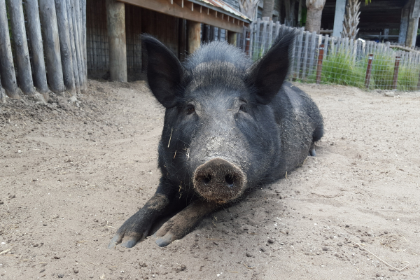 Pig is home at South Florida exhibit following surgery at UF Large Animal Hospital